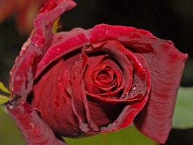 Růžový med