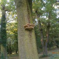 Guláš z pstřeně dubového recept