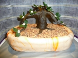 Dort Bonsai recept