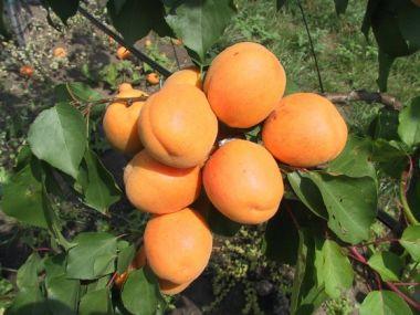 Zavařujeme meruňky