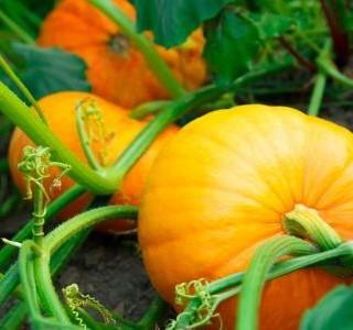 Dýně ‒ jak vypěstovat trvanlivé plody plné vitamínů