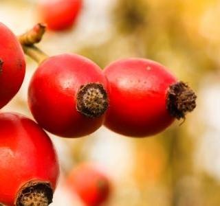 Šípek - z přírody až po šálek lahodného nápoje