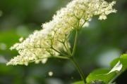 Květy černého bezu – lék, který je zdarma