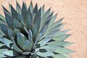 Populární šťáva z kaktusu aneb agávový sirup