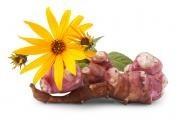Topinambury jsou léčivým darem z přírody Severní Ameriky ...