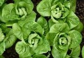 Zklidněte své nervy a žaludek každodenním pojídáním listů salátu